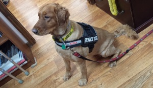 Kathy's hearing dog, Maggie, got some new gear this week! Doesn't she look spiffy??